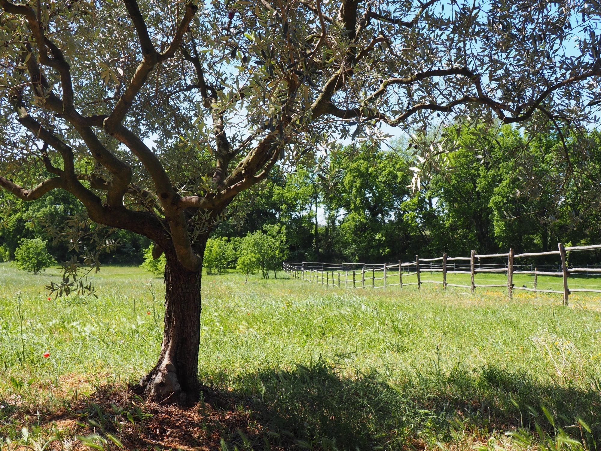 prairie-olivier
